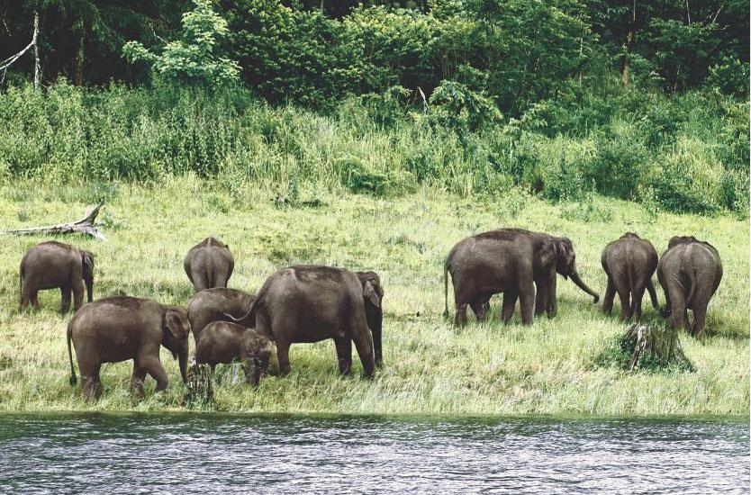 Wild Life, Elephant