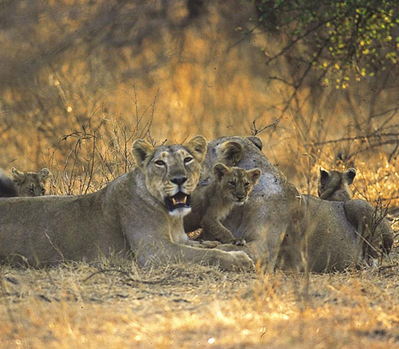 Asiatic Lion Gir Gujarat