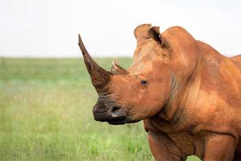 Rhinoceros South Africa
