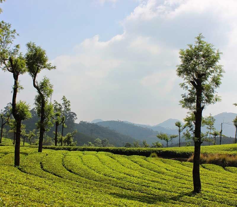 Tea Estate Munnar