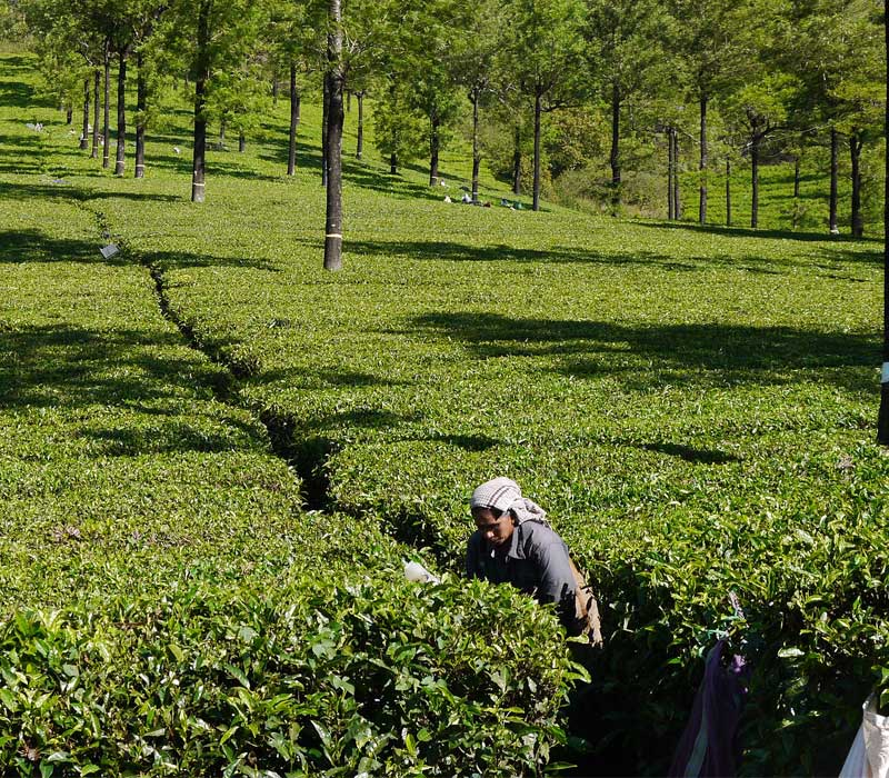 Tea Pickers Munnar