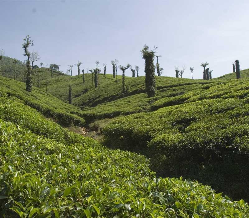 Tea Plantations Of Chikkamagaluru