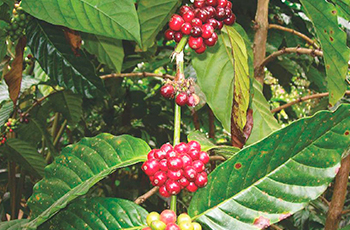 cofee_plantition_coorg