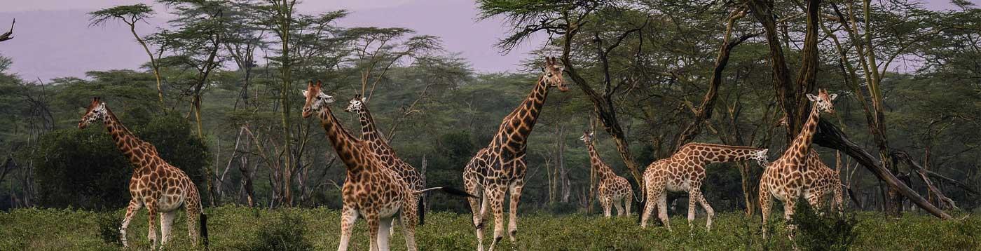 Giraffes Kenya
