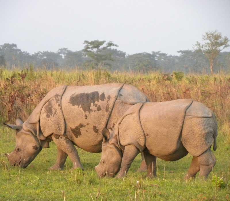 Rhinoceros in assam