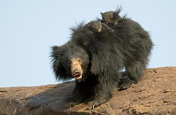 sloth bear resort hampi